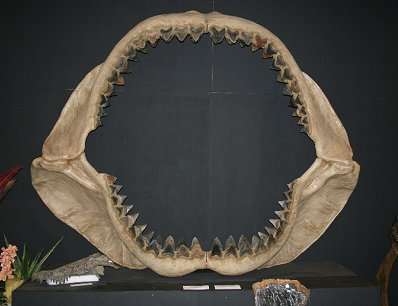 Vito Bertucci's largest shark jaw
